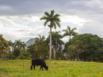 cow grazing in cuban valley