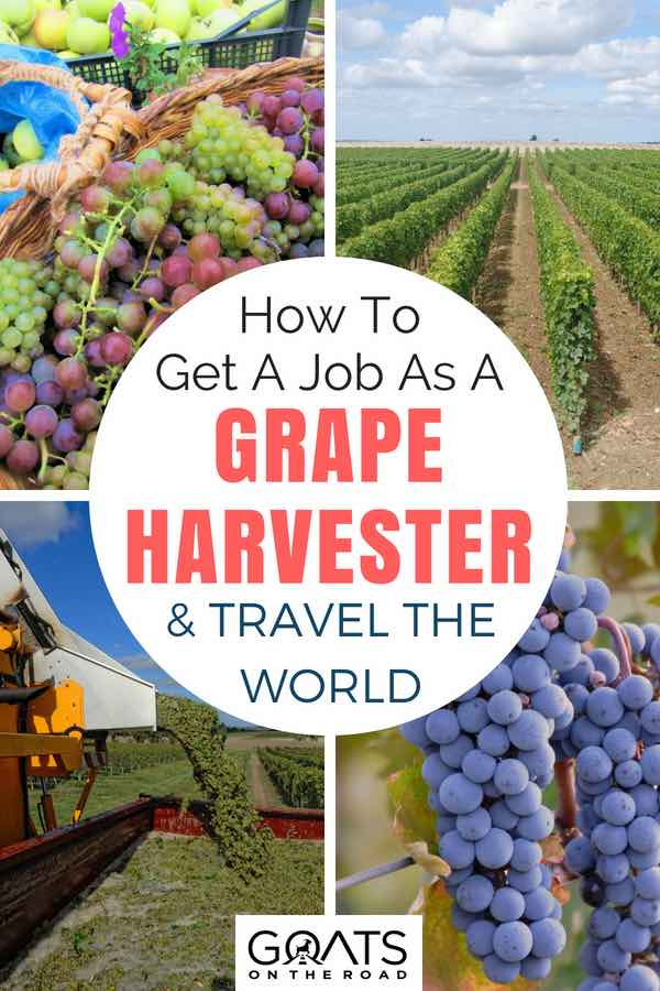 Grapes and vineyards with text overlay How To Get A Job As A Grape Harvester