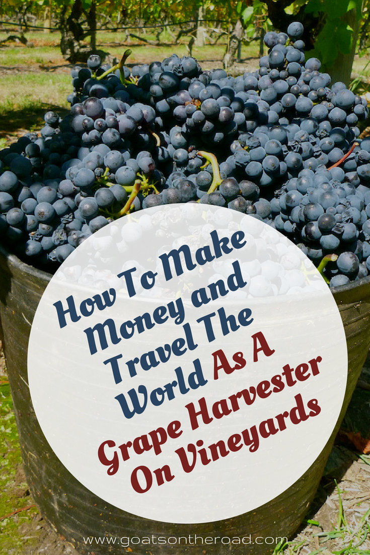 Buckets of grapes with text overlay How To Make Money & Travel The World As A Grape Harvester