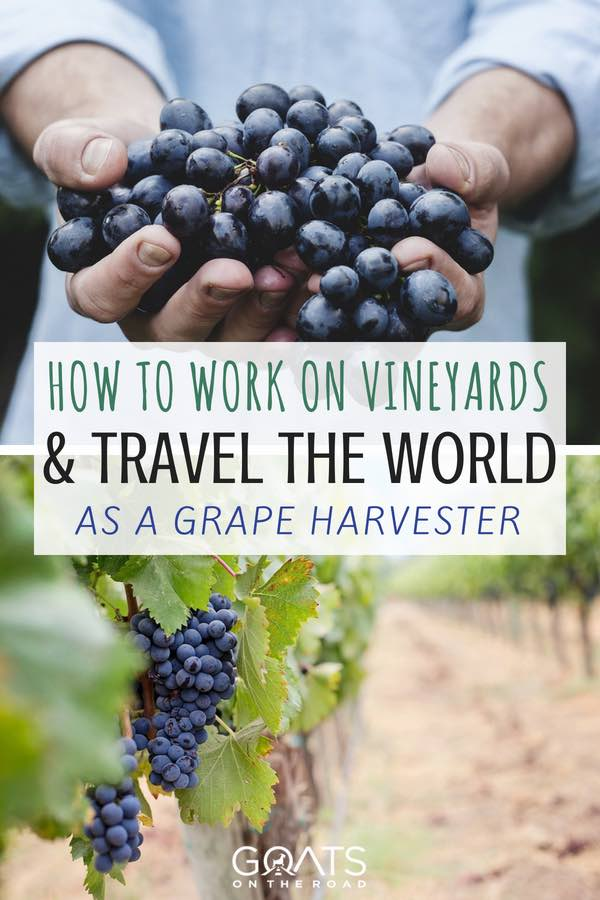 Vineyard work with text overlay Travel The World As A Grape Harvester