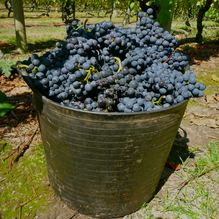 how to find a job working as a grape picker on a vineyard