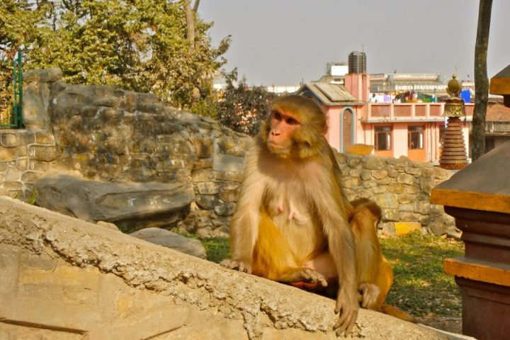things to do in Kathmandu visit swayambhu temple monkey