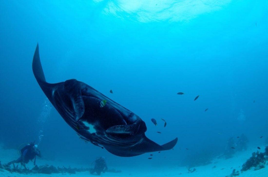 Diving In Raja Ampat Manta Ray