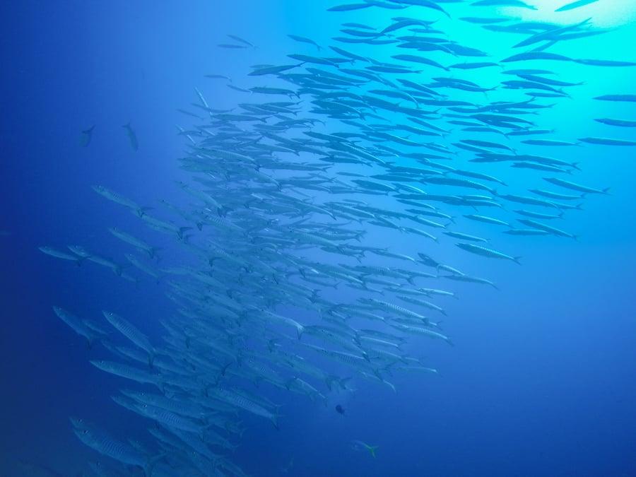 Diving Raja Ampat Barracuda School