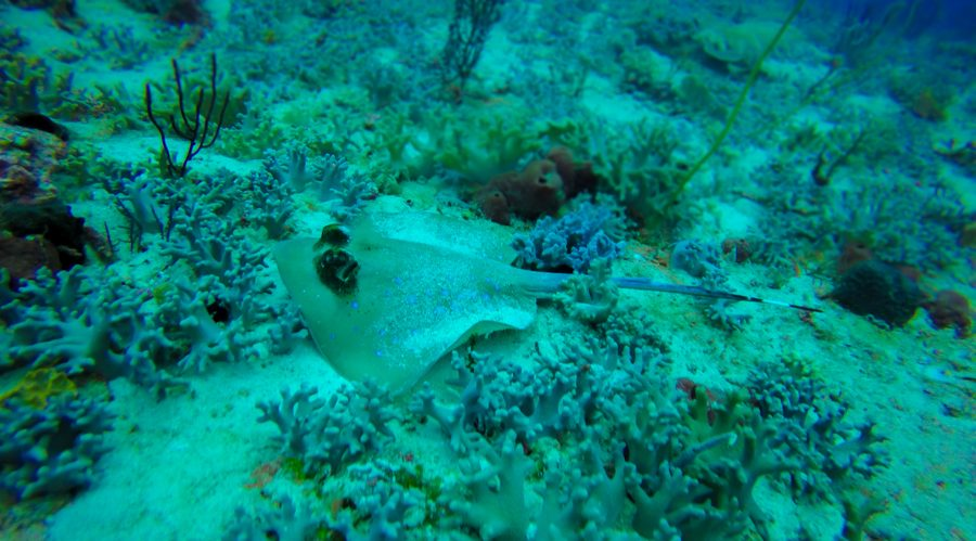 Diving Raja Ampat Blue Spotted Ray