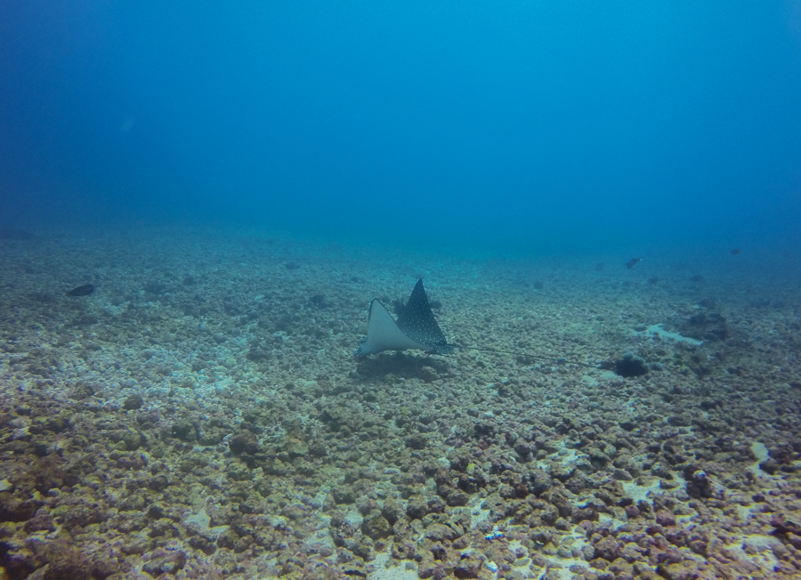 Diving in Komodo Eagle Ray