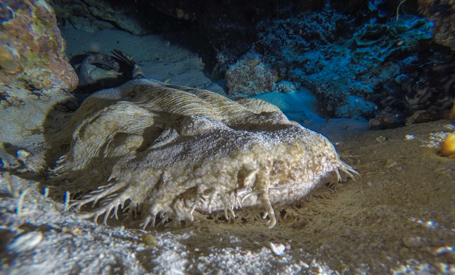 Diving in Raja Ampat Wobbegong