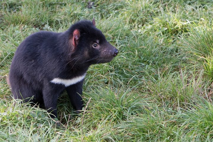 Things to see and do in Tasmania - Tasmanian Devil