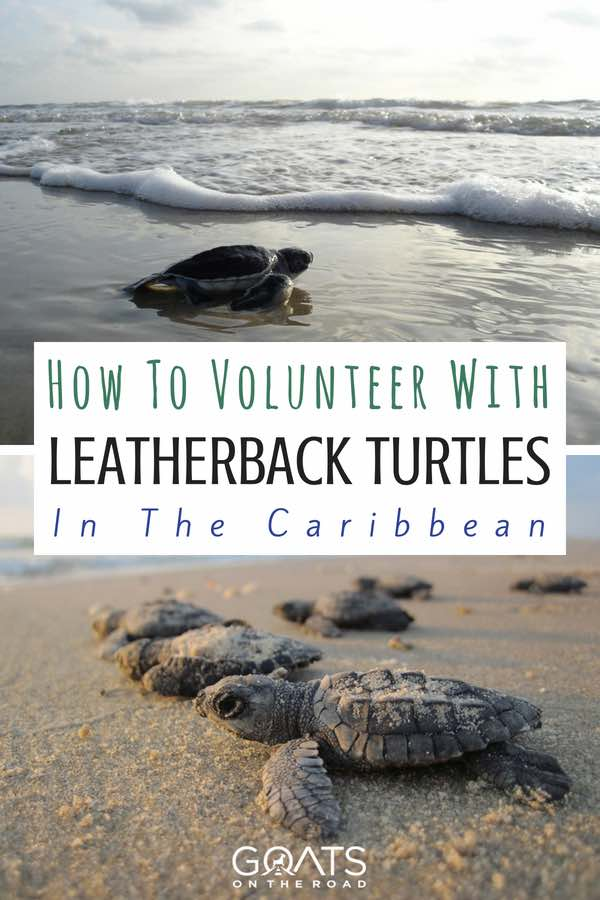 Turtles on beach with text overlay How To Volunteer With Leatherback Turtles In The Caribbean