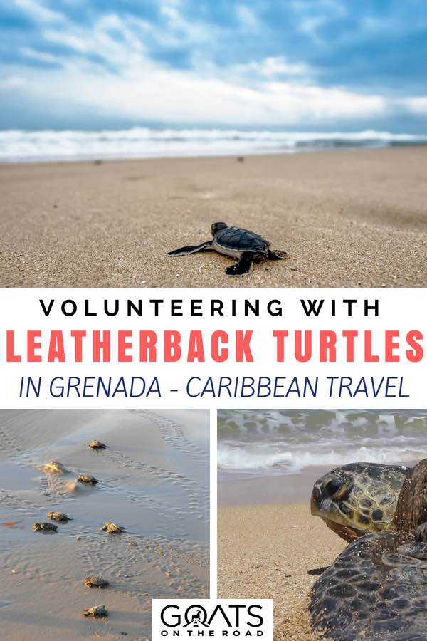 Turtles on the beach with text overlay Volunteering with Leatherback Turtles in Grenada