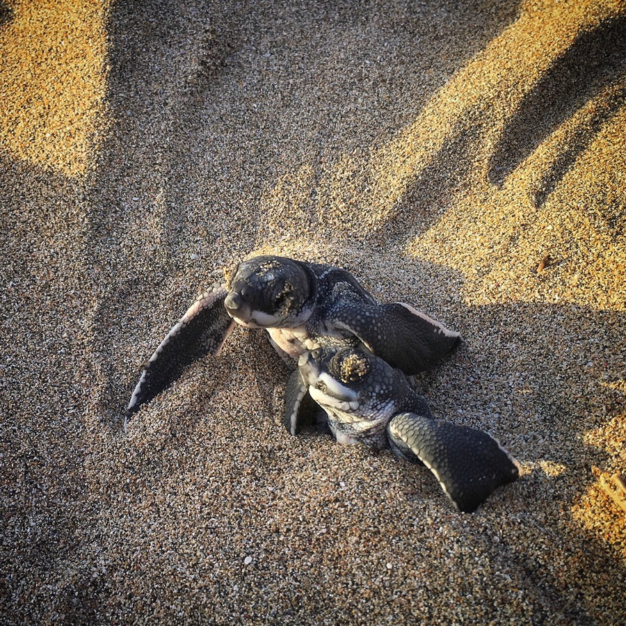 turtle hatchlings conservation in grenada