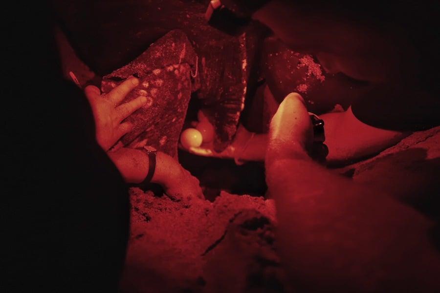 turtle conservation in grenada