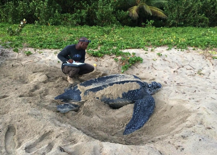 volunteering with leatherback turtles in grenada