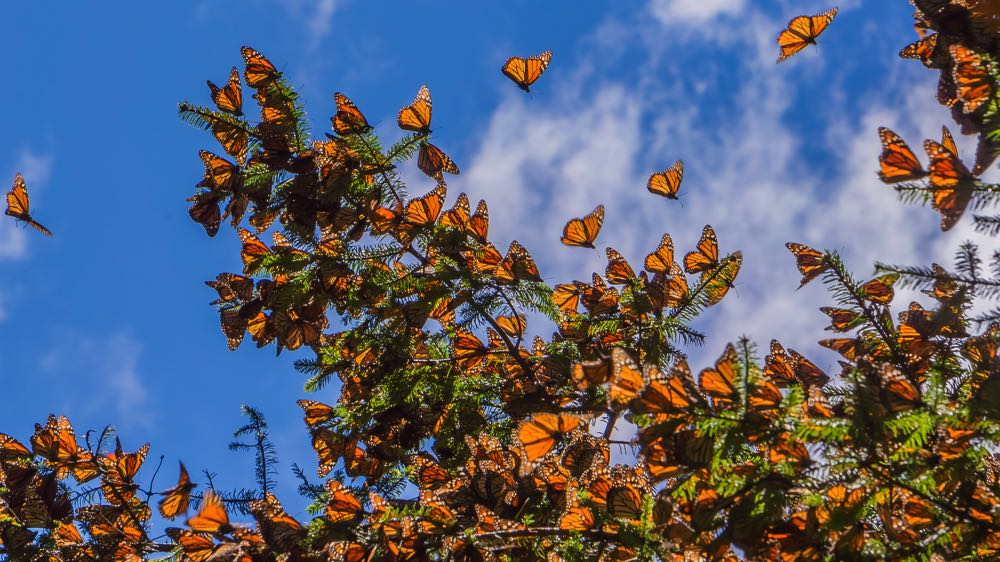 monarch butterfly reserve mexico attractions