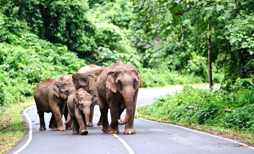 khao yai national park elephants
