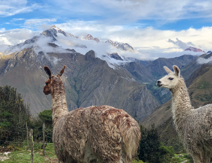 llamas on the inca trail in peru