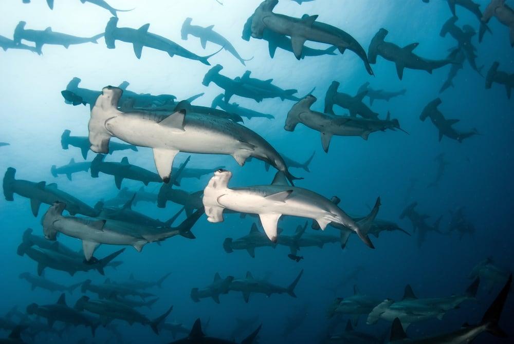 Hammerhead Diving Galapagos Islands