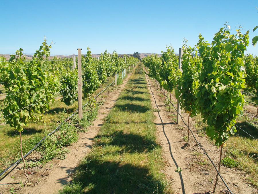working holiday visa nz work on vineyards