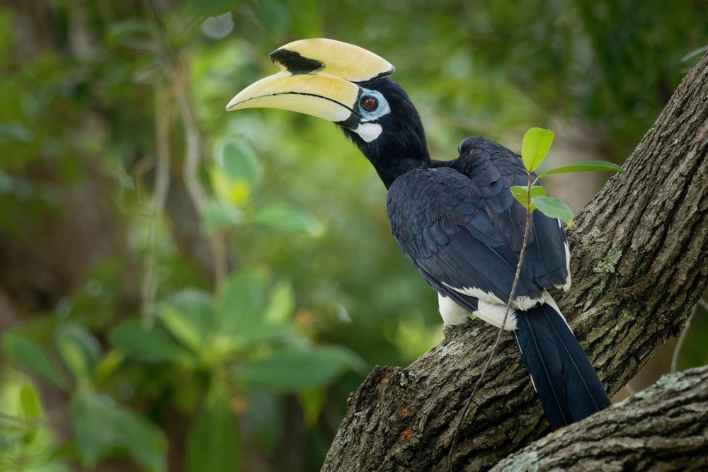 hornbill tour raja ampat