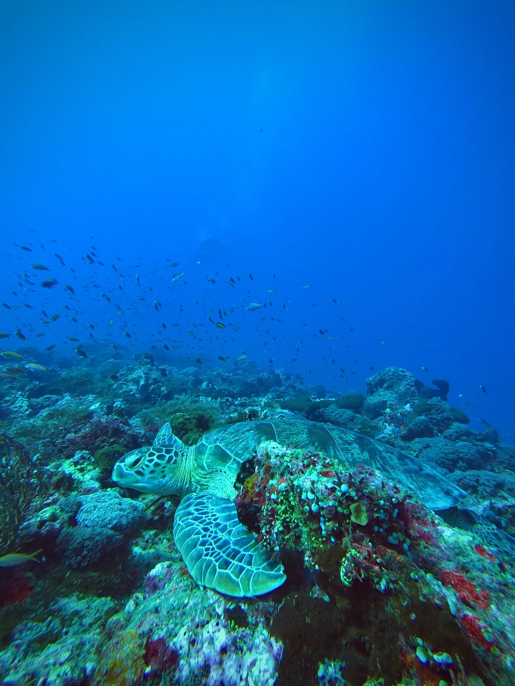 turtle scuba diving gili t