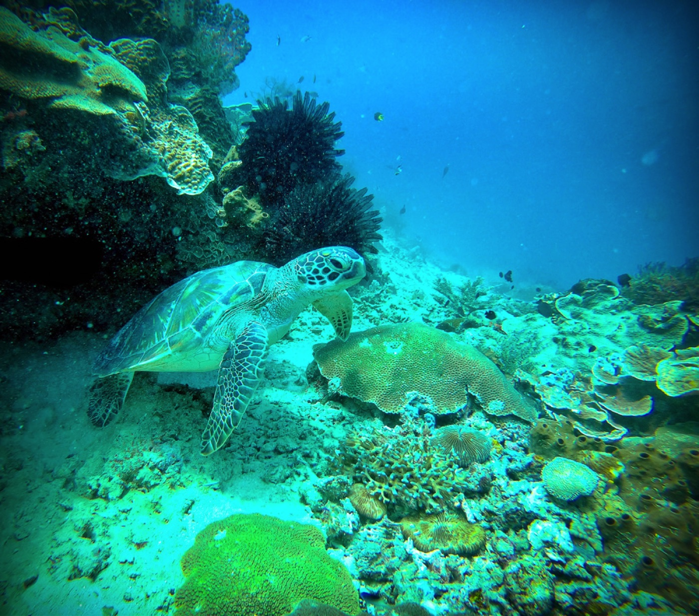 scuba diving in raja ampat with turtles