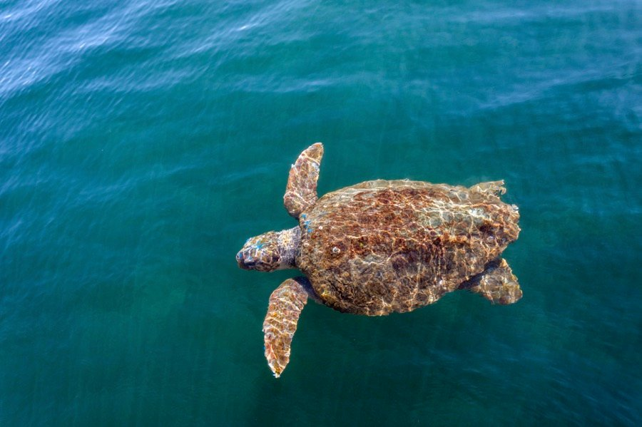 Greece Loggerhead Turtle
