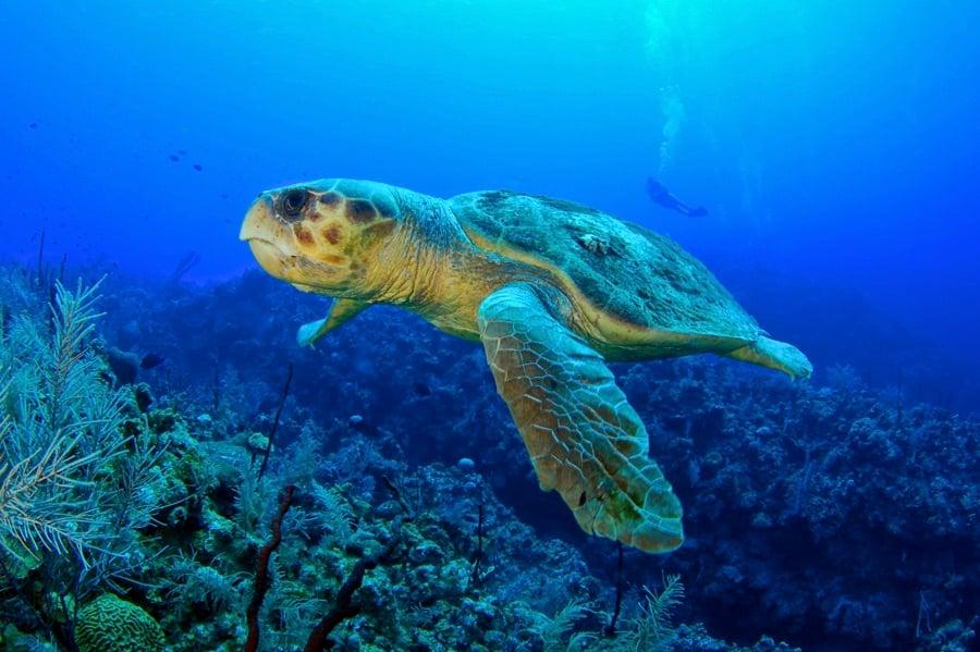 Loggerhead Turtle Zakynthos Coral Diver