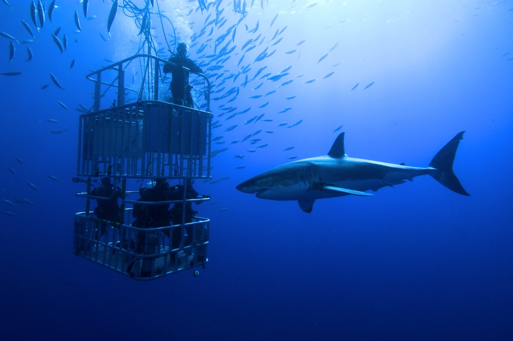 cage diving great white mexico