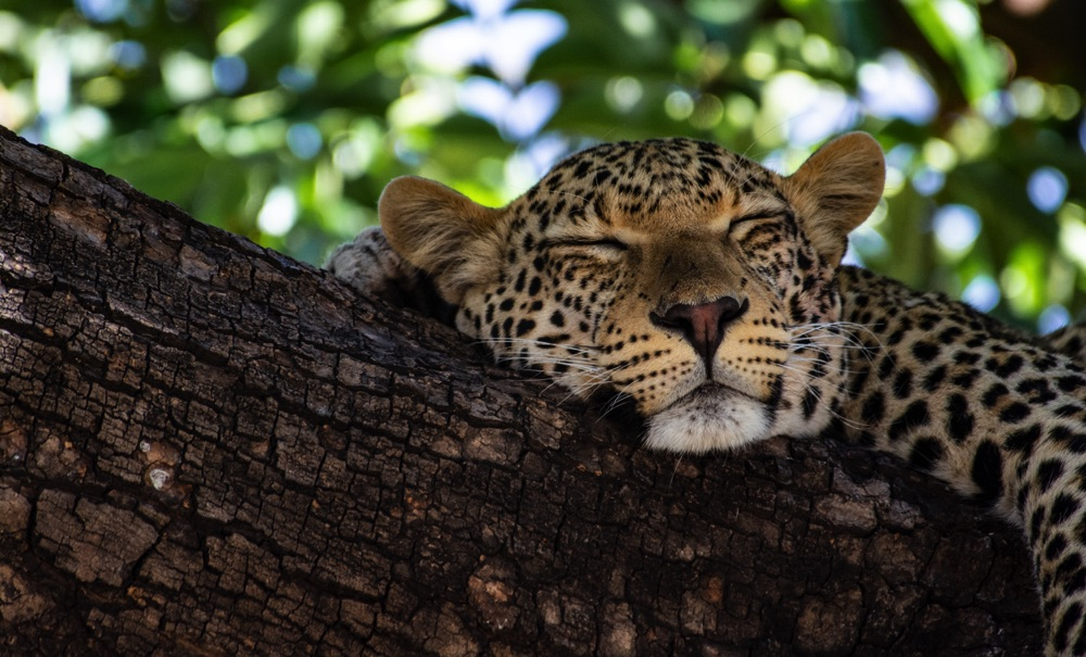 Leopard in Botswana In a Tree