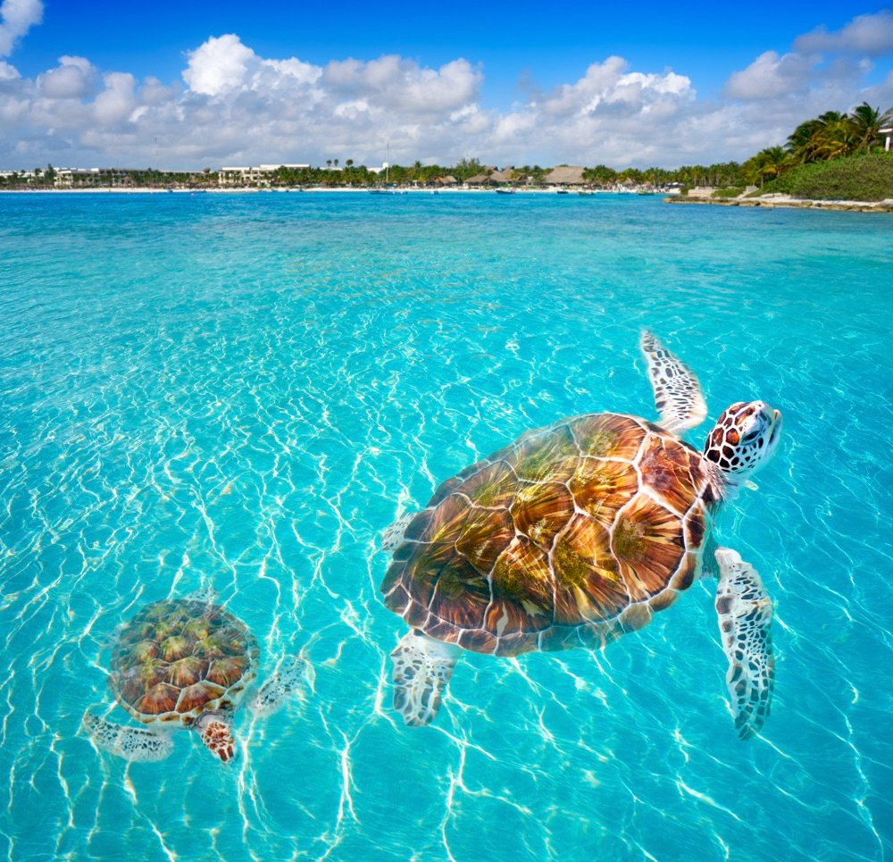 turtles in the shallow water of akumal beach