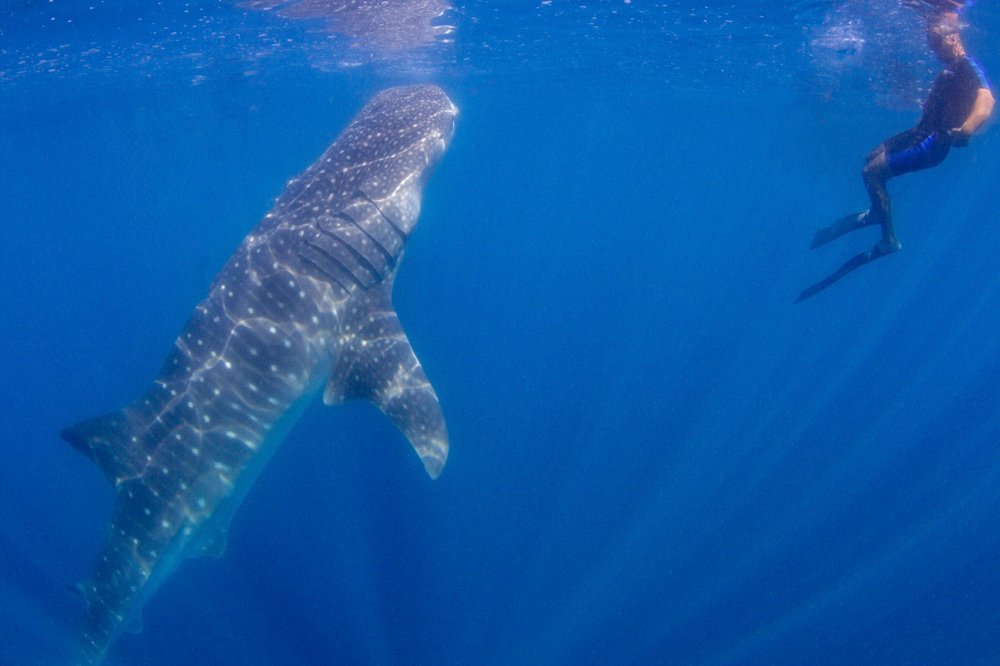 swimming with whale sharks is one of the best things to do in la paz